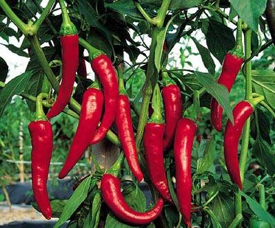 Chili pepper |Capsaicin