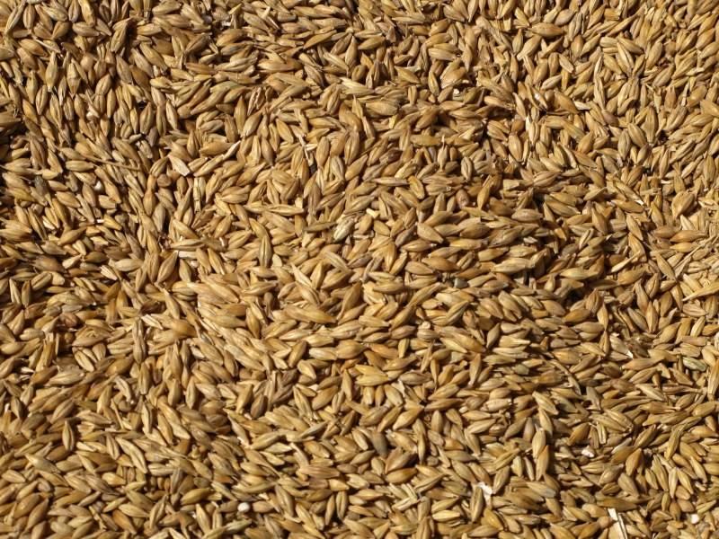 Wheat Grains from Ukraine