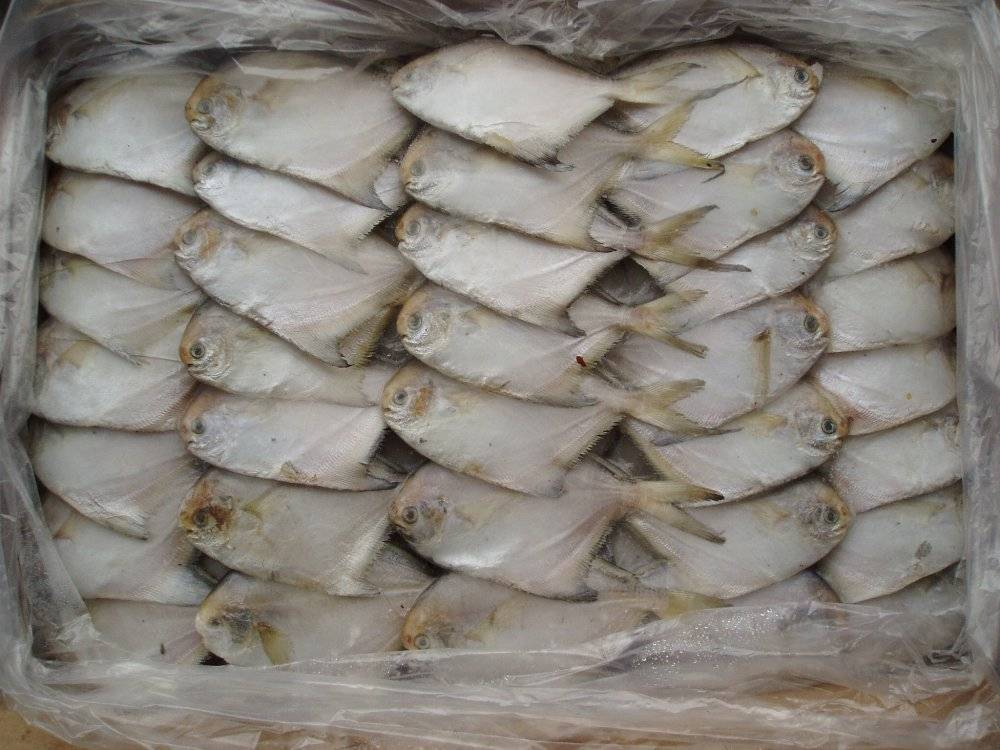 supply quality frozen silver pomfret