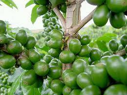 Robusta coffee beans specification