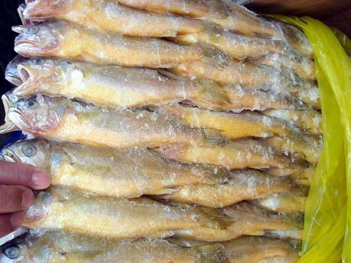 frozen yellow corvina