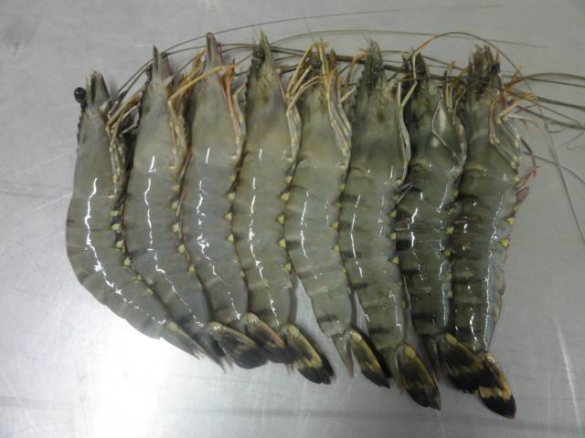 supplier Black Tiger and Vannamei Shrimp