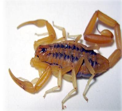 do you buy scorpio venom?