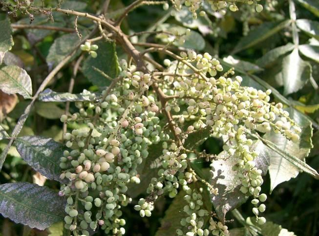 Gallnut Extract