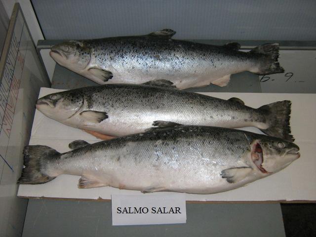 Norway Salmon Fish, Frozen Fish