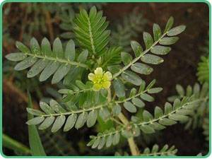 Tribulus Terretris P.E., hot sell