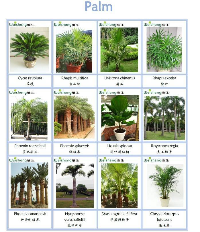 Sell all kinds of Palm