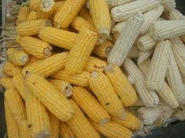 Sell White and Yellow Corn For Both food and Animal Feed