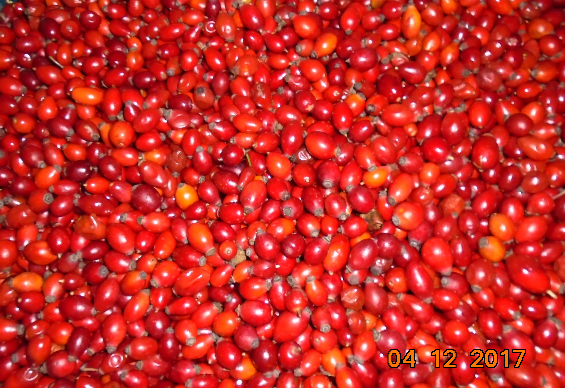 Sell organic IQF Rosehip fruits