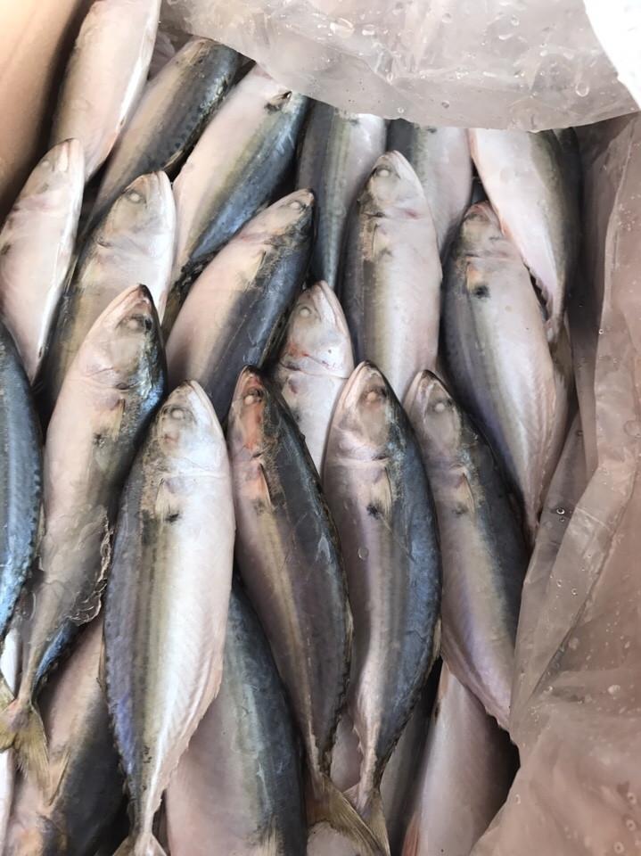 Frozen indian mackerel AAA
