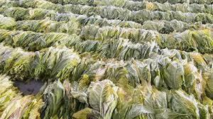 Raw Tobacco Leaf