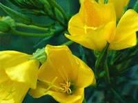 Efamol,Evening primrose oil, food additive oil,spice oil,65546-85-2