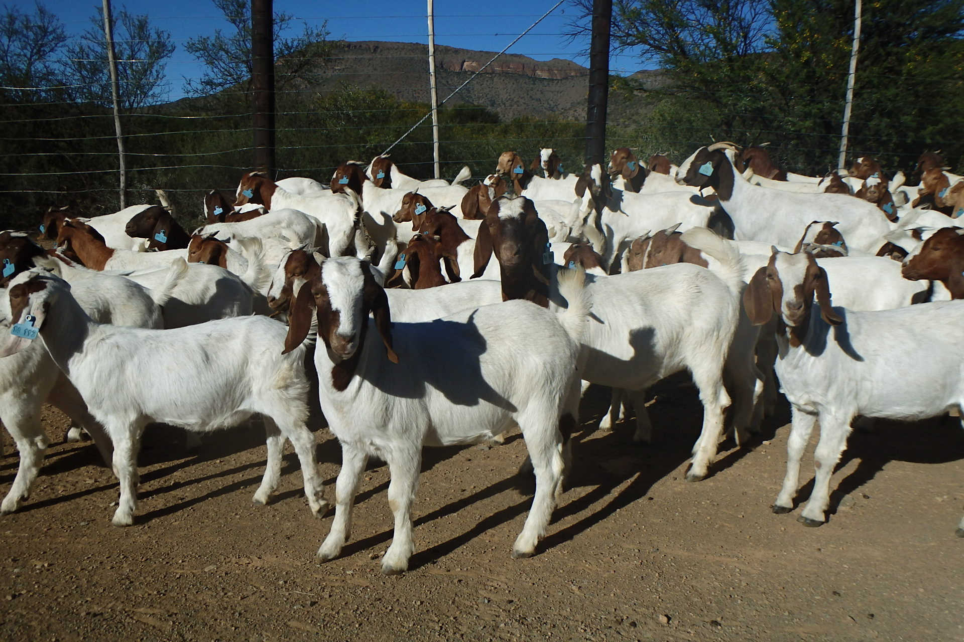 Live Boer Goats, Live Sheep, Cattle, Lambs and Cows