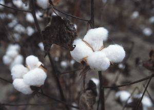 RAW COTTON FROM INDIA.