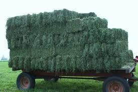 Sell Alfalfa hay