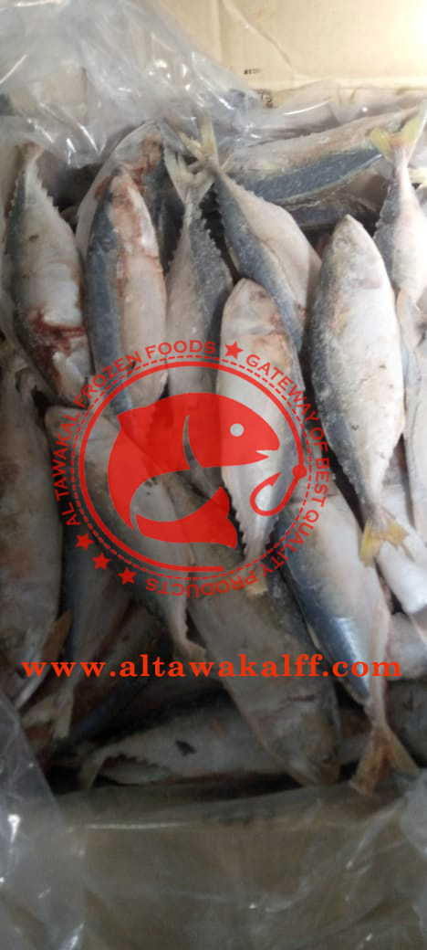 Frozen Indian Mackerel Fish Whole Round