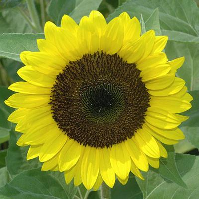 SUNFLOWER OIL: REFINED DEORDORIZED UKRAINIAN