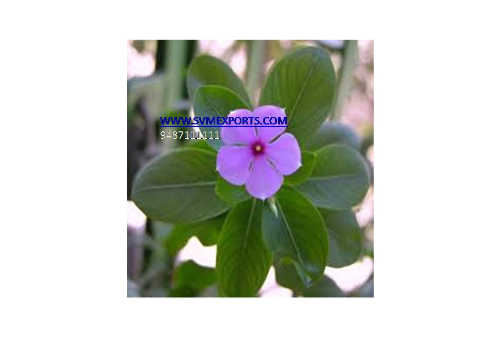 Fresh Catharanthus Roseus Exporters India