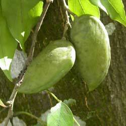 Pongamia Germination Seeds for Sale
