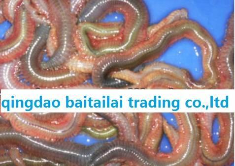 Sell worm bait/fresh live lugworm/fishing food