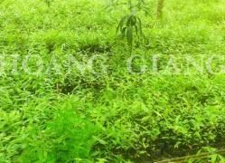 Agarwood seedlings