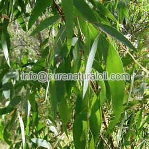 100% pure Eucalyptus Essential Oil