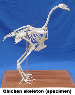 VM006: chicken skeleton(speclmen)