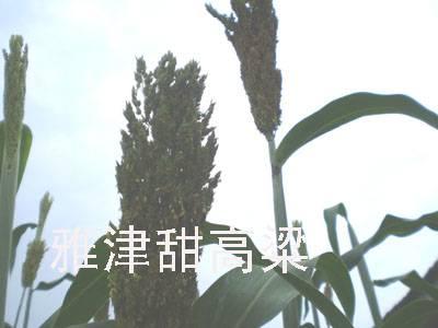 USA Ethanol Strain of Sweet Sorghum