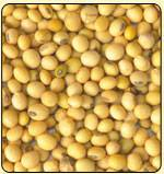 soybean Seeds for sale
