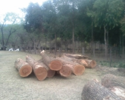 Sell Balsamo with smell / Santo Mahogany on Logs