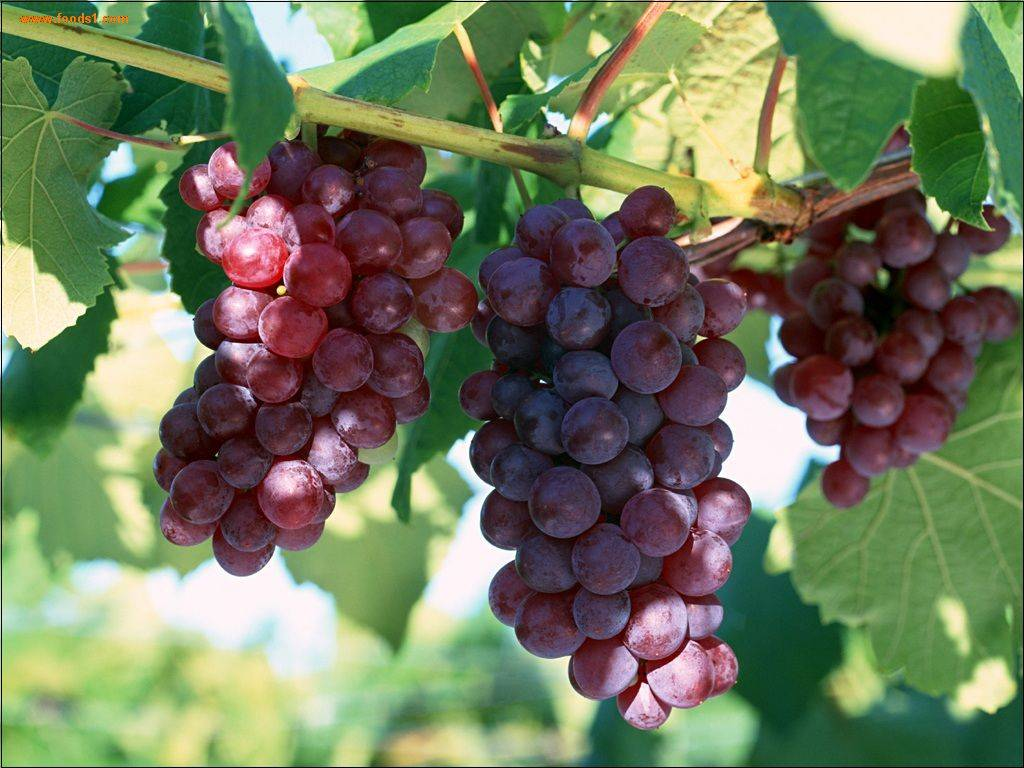 Grape Seed P.E| Anthocyanidins