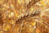 WHEAT FROM INDIA.
