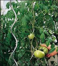 Tomato Spiral/Stick
