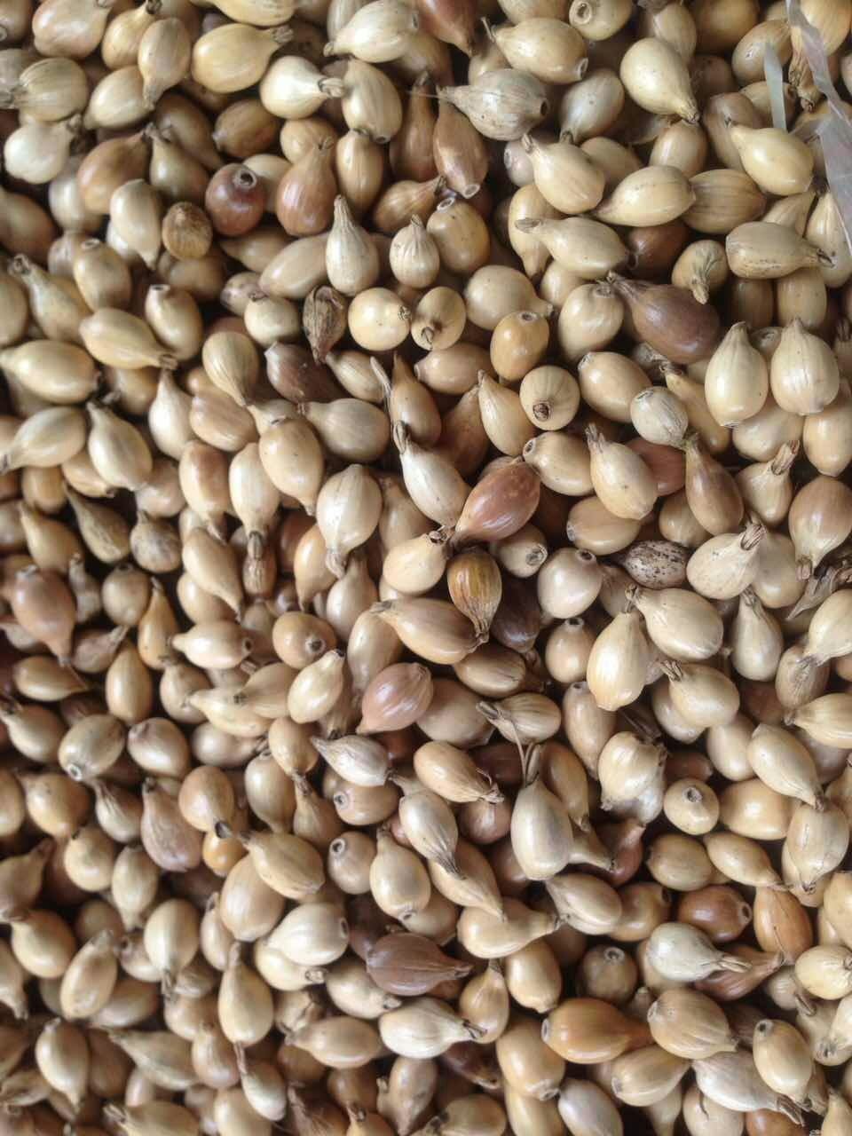 Good quality of Whole coix seed with shell
