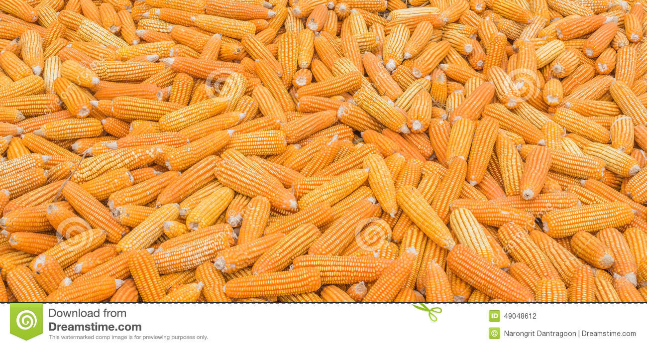 Yellow Corn GMO, Animal Feed