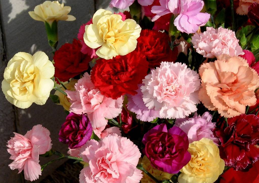 Carnation for sale with high quality & competitive prices