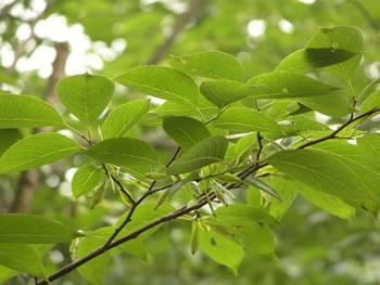Herbal Eucommia Bark Extract