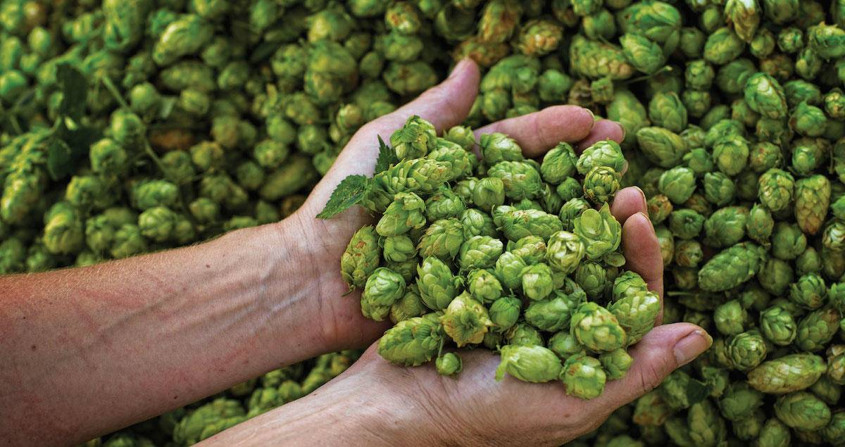 FRESH HOPS AND HOPS EXTRACT...
