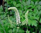 Black Cohosh Plant Extract-Triterpenoid Saponins