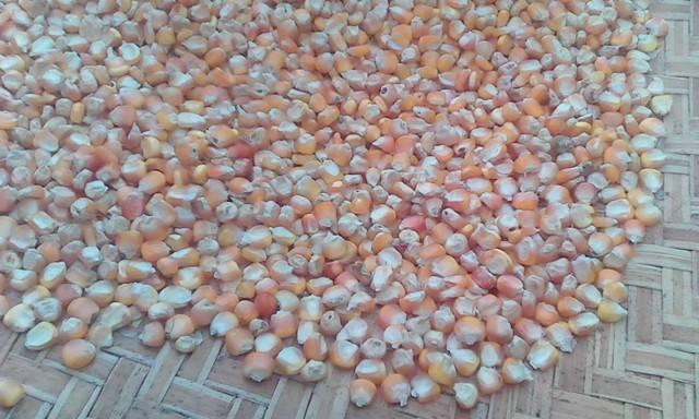 shell corn