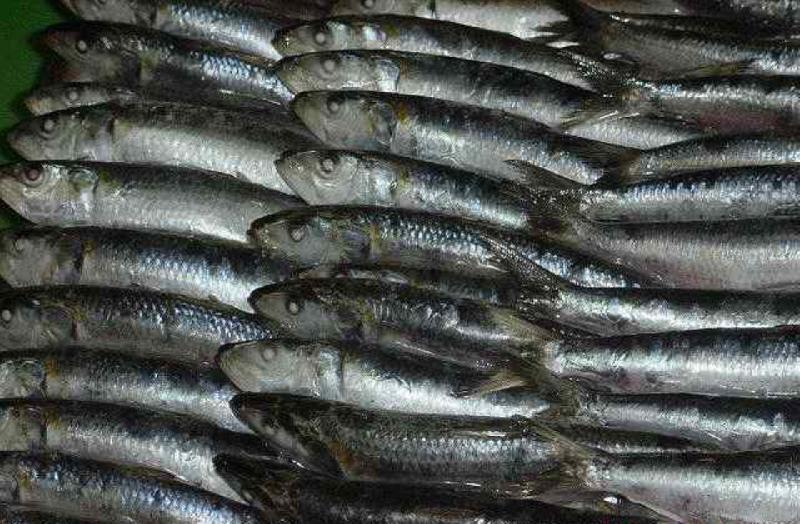 fresh Frozen white anchovy for sale
