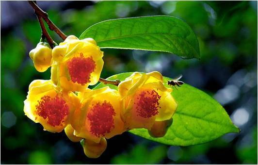 golden camellia tea
