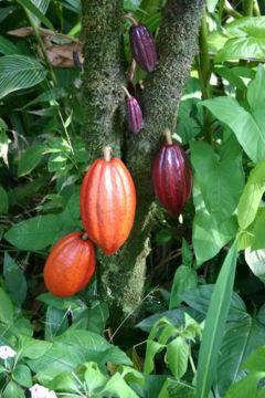 cocoa powders cacao