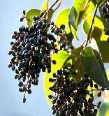Ligustrum Fruit Extract