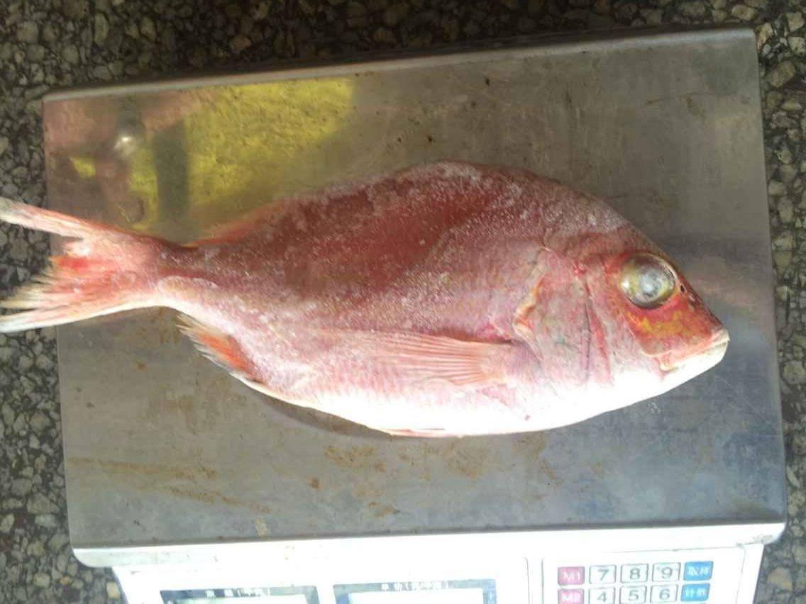 Frozen Red Sea Bream Fish