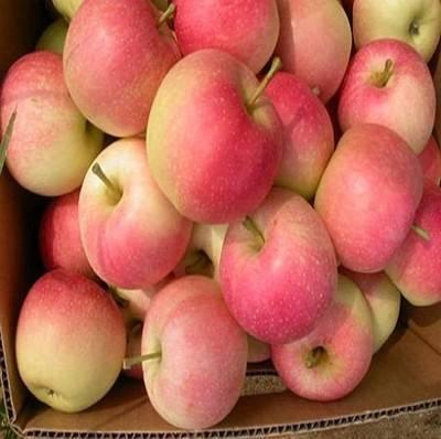 gala apple red fresh apple in china yantai apple
