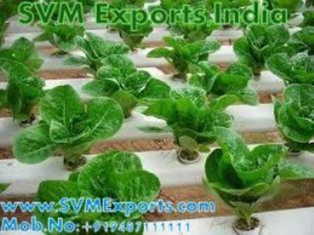 Gymnema Sylvestre Exporters India