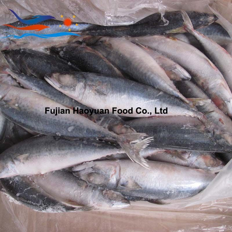 new catching frozen pacific mackerel