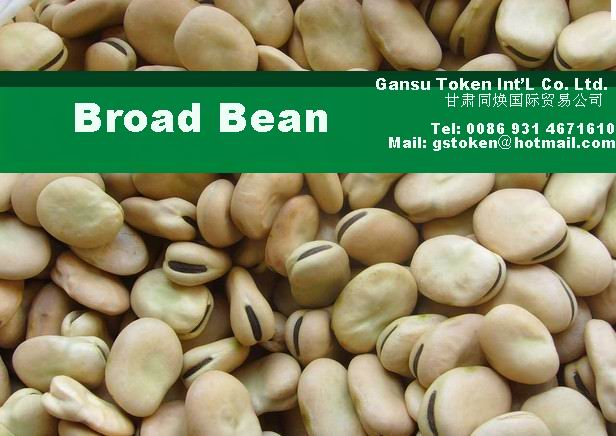 Chinese Broad Bean/ fava Bean (new Crop)