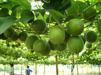 Momordica Grosvenoti Fruit P.E.